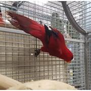 """Loriquet à cou rouge """"Trichoglossus rubritorquis"""""""