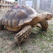 3932-tortue-sillonnee-sulcata-male-de-58-cm-de-plastron-34-kg