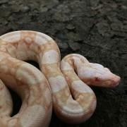 Boa constricteur Albinos- Jeune