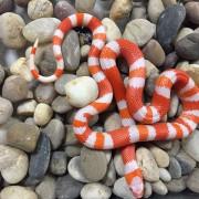 "Faux-corail de Nelson ""Lampropeltis triangulum nelsoni"" albinos"