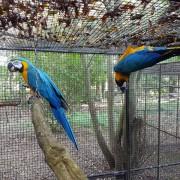 "Ara bleu ""Ara ararauna"" - Couple indissociable  EPP"
