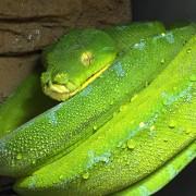 "Python vert - Morelia viridis Mâle ""Biak"""
