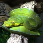 Python vert arboricole - Morelia viridis Femelle manokwari