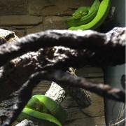 Couple Python vert arboricole- Morelia viridis
