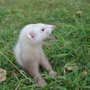 "Furet "" Mustela putorius furo"" - Femelle née en avril 2019, puce 582"