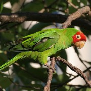 "Conure à face rouge ""psittacara erythrogenys"" - EAM 2019- Bague 008"