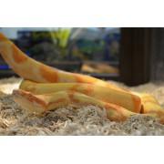 Boa constricteur albinos femelle adulte