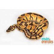 "Python royal ""Python Regius""  Mâle CHAMPAGNE ALBINOS 80/100 cm PUCE 342"