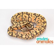 "Python royal ""Python Regius""  Mâle ALBINOS SPIDER 80/100 cm PUCE 793"