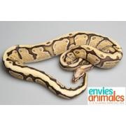 "Python royal ""Python Regius""  Mâle BUTTER GENETIC STRIPE 80/100 cm PUCE 785"