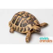 "Tortue Hermann ""Boettgeri"" couple - 10/12cm"