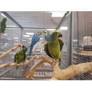 "Amazone à front bleu ""Amazona aestiva "" -Femelle apprivoisée EAM 2019 - Bague 025"
