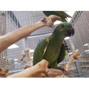 "Amazone à front bleu ""Amazona aestiva "" -Femelle apprivoisée EAM 2020- Bague 0483"