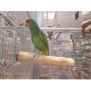 "Amazone à joues vertes ""Amazona viridigenalis"" - Femelle EAM 2020 - Bague 002"