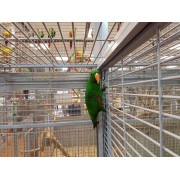 Perroquet Eclectus roratus roratus - Mâle EAM 2020- Bague 001
