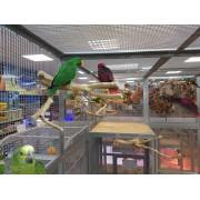 Perroquet Eclectus roratus polychloros - Mâle EPP 2012- Bague 06