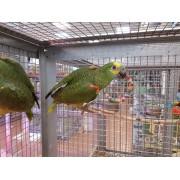 "Amazone à front bleu ""Amazona aestiva "" -Femelle apprivoisée EAM 2020- Bague 090"