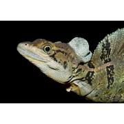 """Basilic commun""""Basiliscus basiliscus"""" - mâle adulte"""