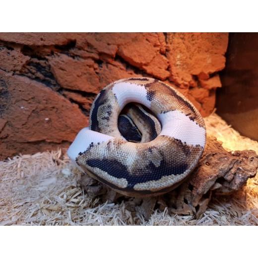 Python royal piebald femelle- Jeune