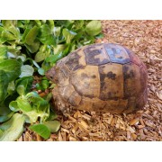 "Tortue Grecque ""Graeca terrestris"" , mâle de 15 cm, puce 065"