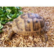 "Tortue Grecque ""Graeca terrestris"" , mâle de 16 cm, puce 943"