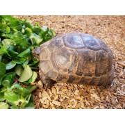 "Tortue Grecque ""Graeca terrestris"" , femelle de 20 cm, puce 928"