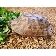 "Tortue Grecque ""Graeca terrestris"" , femelle de 18 cm, puce 985"
