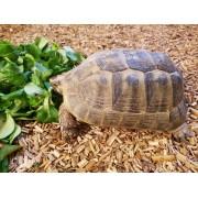 "Tortue Grecque ""Graeca terrestris"" , femelle de 19 cm, puce 684"