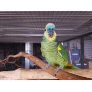 """Amazone à front bleu """"Amazona aestiva"""" - femelle EPP 2005 -"""