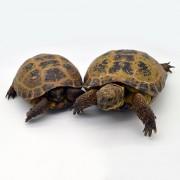 """Tortue des steppes """"Horsfieldi"""" couple mâle 10/12 et femelle 12/15 cm"""