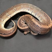 "Python royal ""Python Regius""  Mâle BUTTER CREAM 80/100 cm"