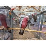 "Cacatoès rosalbin ""Eolophus roseicapilla"" - Femelle EAM - Bague 11"