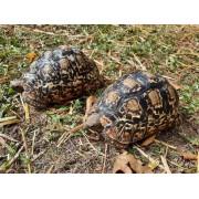 "Tortue léopard "" Stigmochelys pardalis babcocki "", 15 cm mâle"