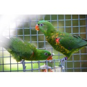 "Loriquets verts ""Trichoglossus chlorolepidotus"" couple epp 2021"