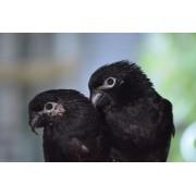 "Loris noirs ""Chalcopsitta atra"" couple epp 2020"