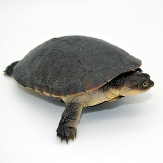 Tortue Pelomedusa subrafa -4/6cm