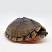 Tortue Sternotherus carinatus - 12cm