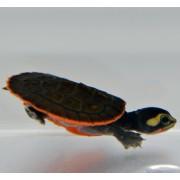 Tortue Emydura subglobosa - 4/6cm