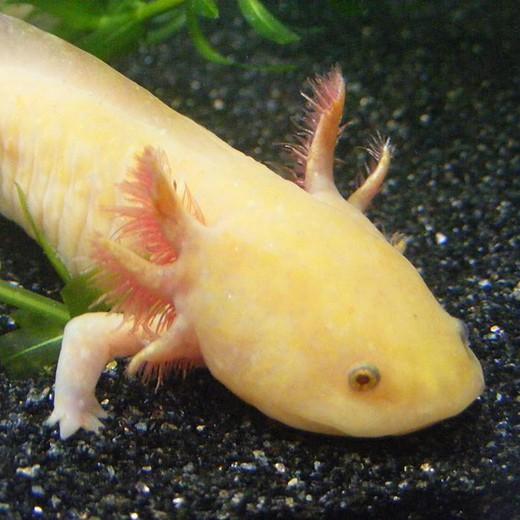 Axolotl Albinos doré