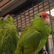 "Femelle - Amazone à joues vertes ""Amazona viridigenalis"" - bague 001"