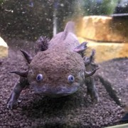 Axolotl Sauvage/pearl Femelle (15-20cm)