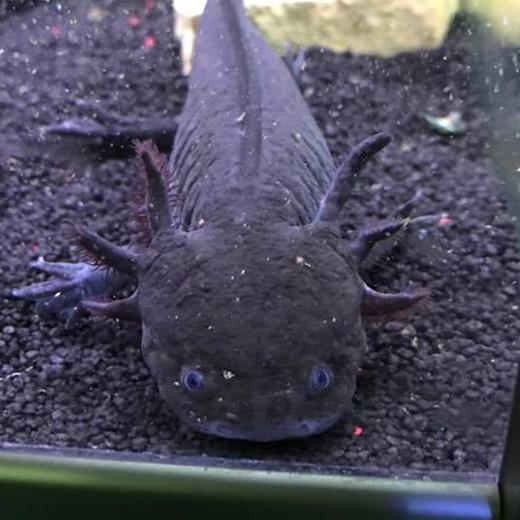 Axolotl Sauvage Mâle
