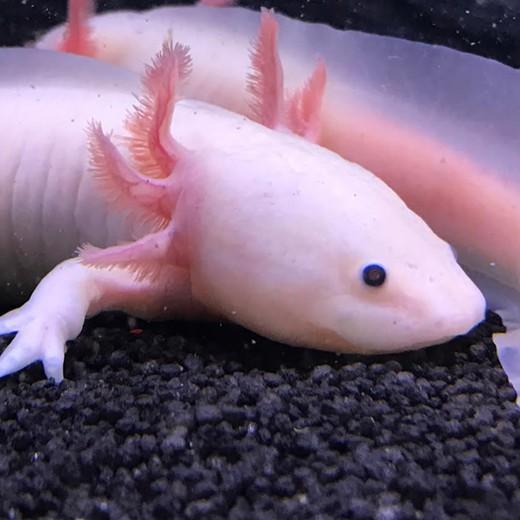 Axolotl leucistique Femelle (15-20cm)