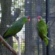 Couple d'amazones à joues vertes