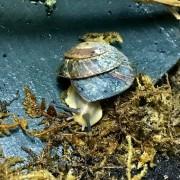Escargot Caracolus sagemon