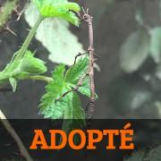 Phasme  Achrioptera fallax