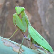 Couple mantes Sphodromantis lineola