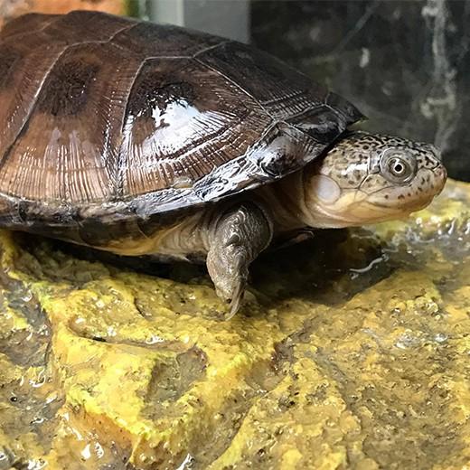 Tortue Pelusios castaneus - 8/10 cm