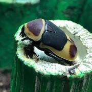 Cétoine pachnoda marginata peregrina
