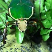 Cétoine Mecynorrhina Torquata Immaculicollis